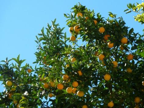 orange-trees-217764_1280